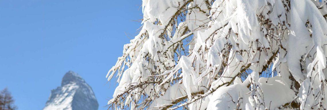 Club Med Cervinia, en Italie - Arbre recouvert de neige somptueuse
